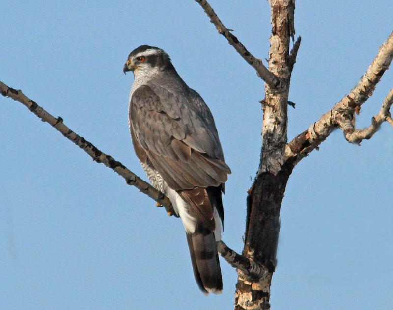 Hinterland Whos Who  Sharpshinned Hawk Coopers Hawk