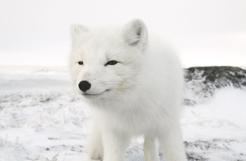 Black And Grey Camouflage Wallpaper Hinterland Who S Who Arctic Fox