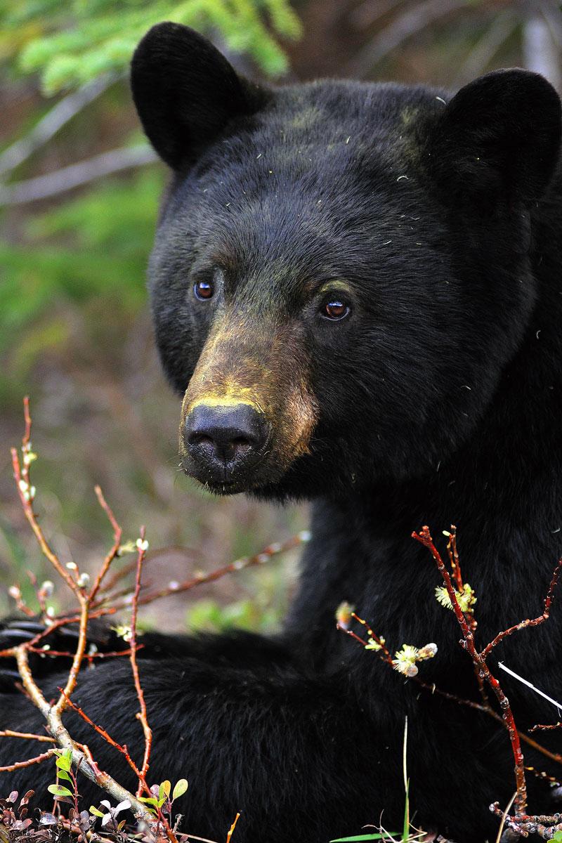 Hinterland Whos Who  Black Bear