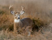 Hinterland Who's Who - White-Tailed Deer