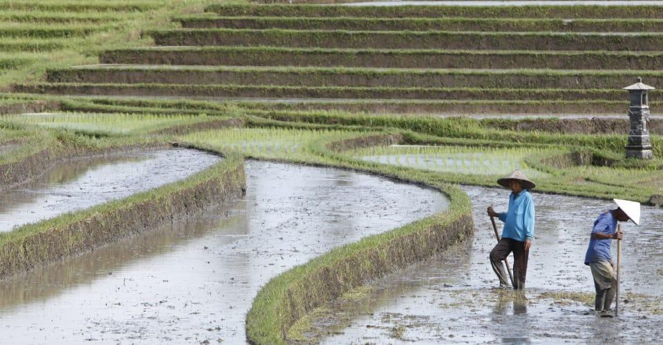 rice_field