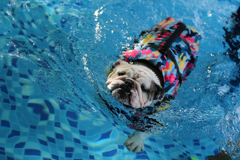 best life jacket for bulldogs