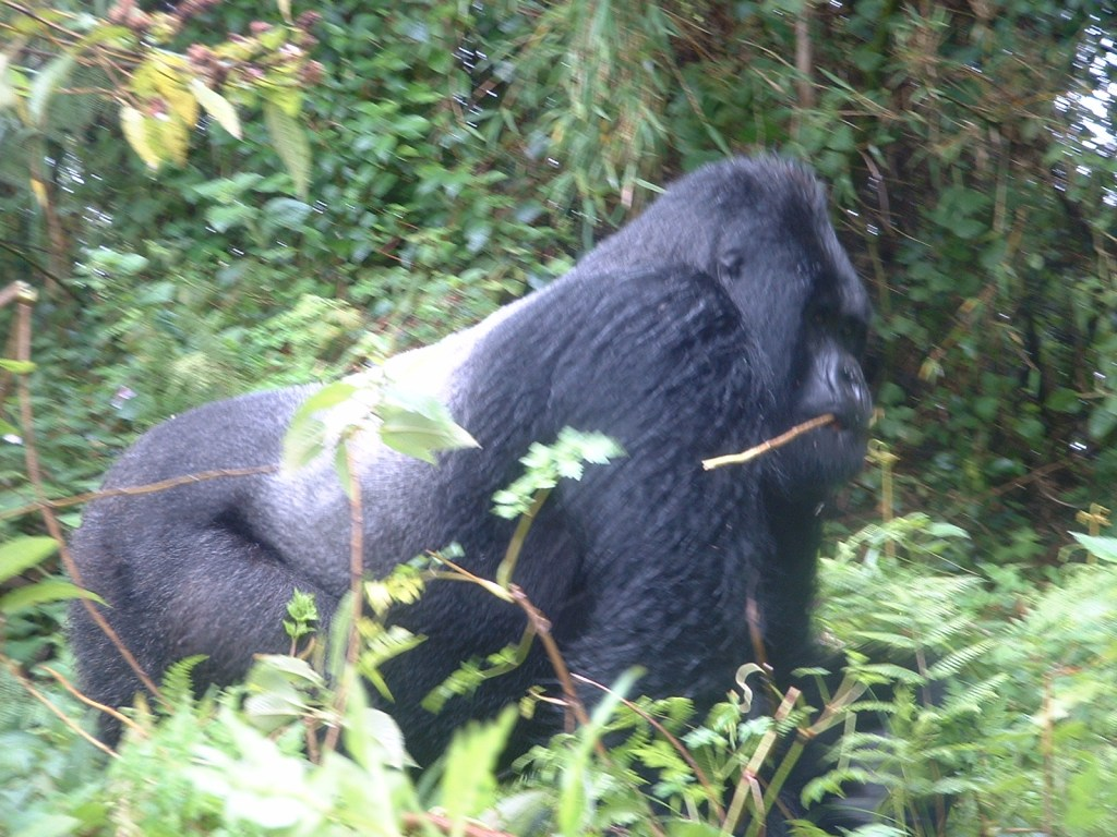 The leader of the Sabyinho gorilla family group in the Virunga mountains in 2003
