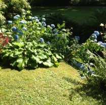hydrangea along lawn