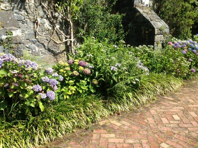 hydrangeas along a path