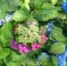 acecap hydrangea blue pink