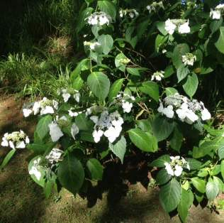 white hydrangea in shade in forest