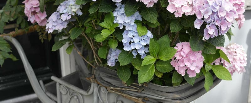 How to grow hydrangeas. A detailed overview of how to care for hydrangeas from pruning, to pest and diseases and lots more useful information