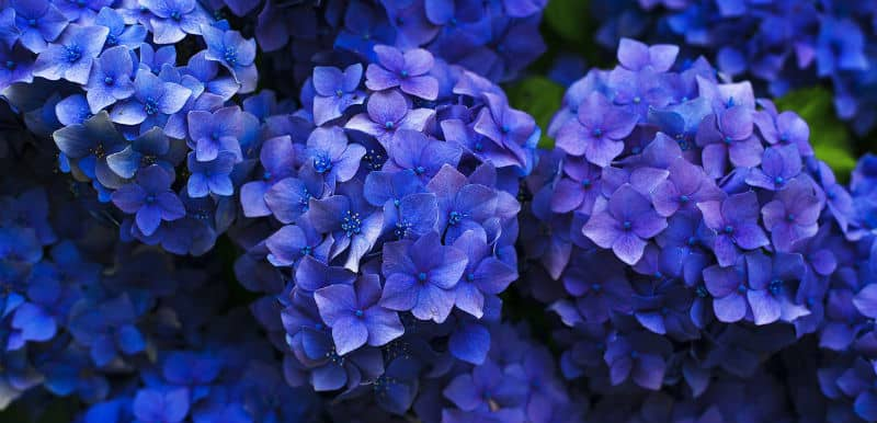 How to keep hydrangeas blue