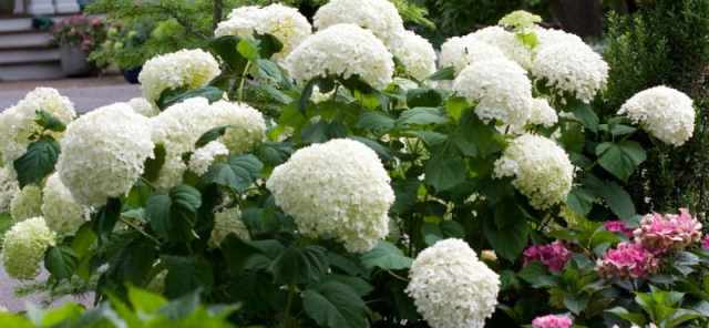 Pruning Hydrangea Annabelle - step by process of how to prune Annabelle hydrangeas