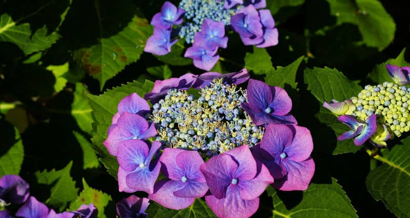 If you want to know how to prune lacecap hydrangeas then read on, firstly they don't need to be pruned for the health of the plant. If you do then prune before July or you will risk removing the buds for next years flowers.