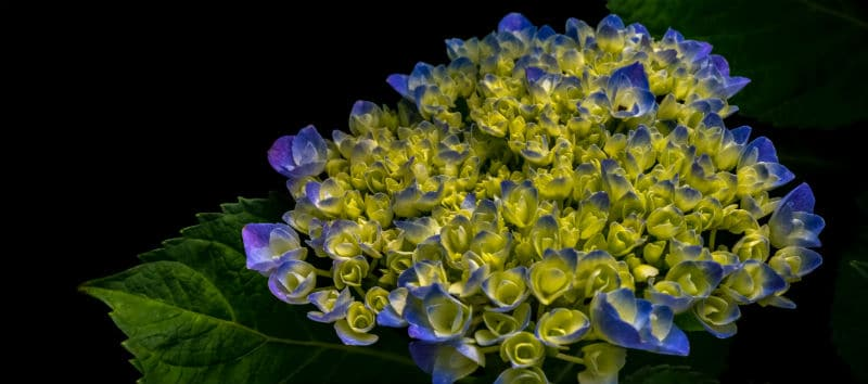 The best hydrangeas for shade - includes mopheads, lacecaps and climbing hydrangeas