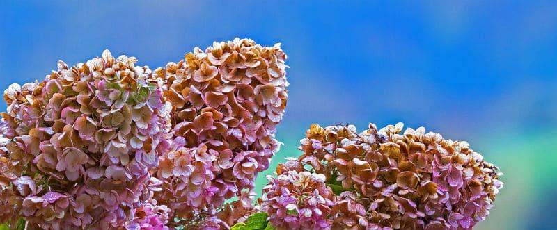 Best hydrangeas for a sunny spot