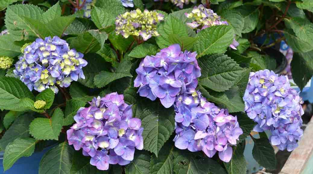 Deadheading endless summer hydrangea