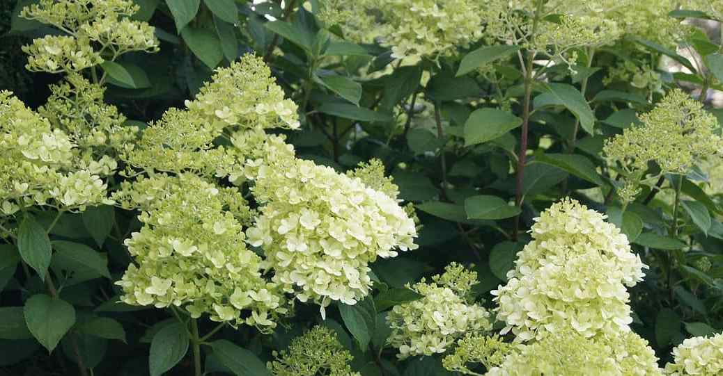 Growing hydrangea trees