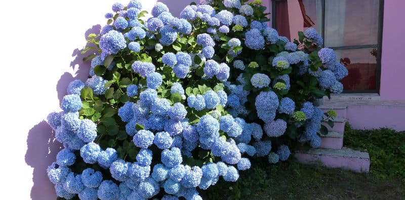 How tall and wide do hydrangeas grow