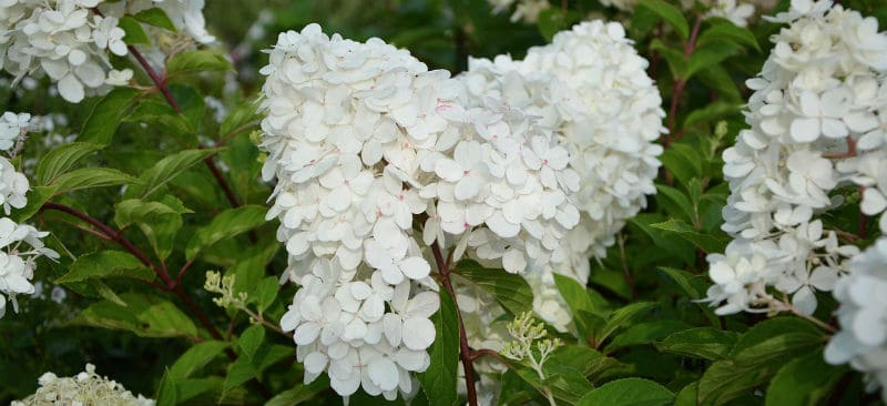 How to grow white hydrangeas
