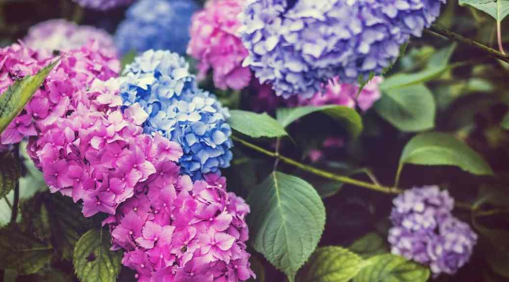 How to keep hydrangeas upright and stop them flopping over
