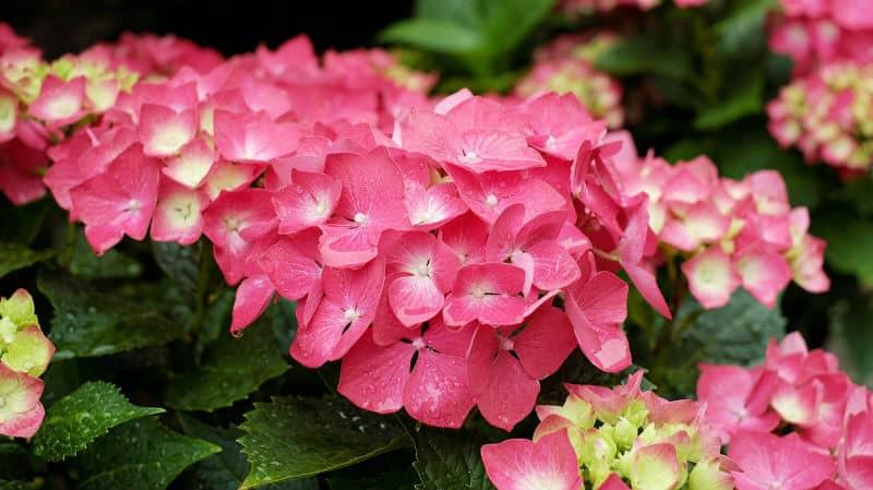 How to make hydrangeas flower pink