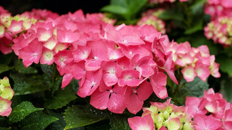 How to make hydrangeas flower pink