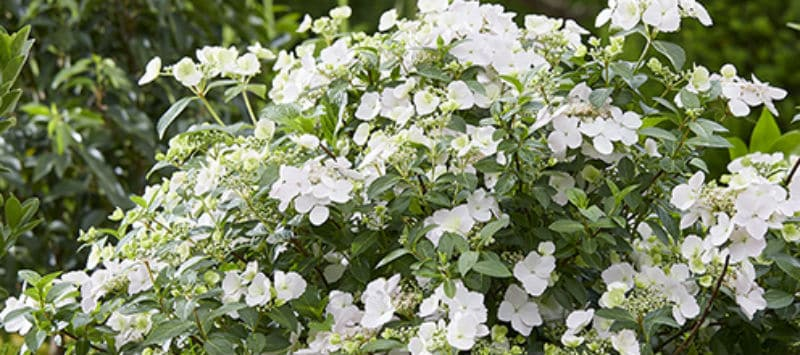 Hydrangea Runaway Bride - growing & care guide