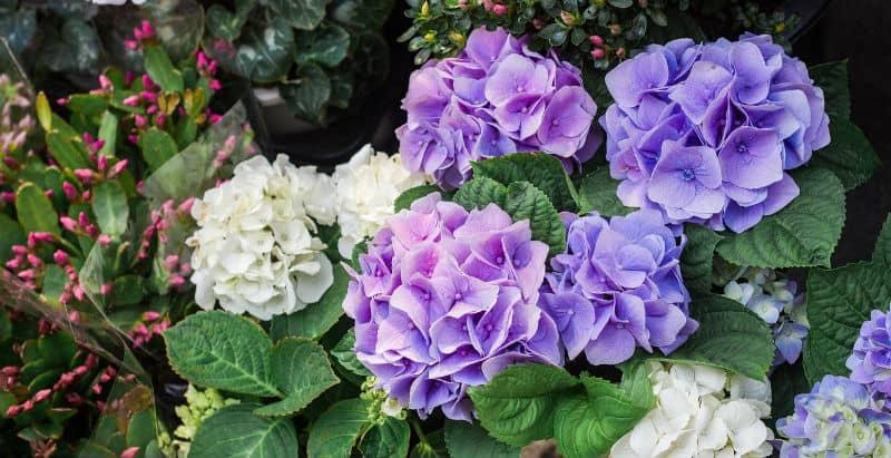 Hydrangeas spring care