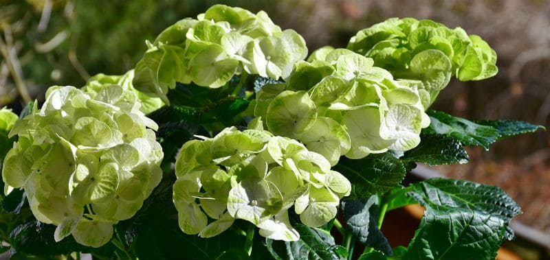 Hydrangeas with green flowers - What us the cause