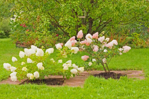 There are only a few hydrangeas which can be cultivated into the shape of a tree so you won't be able to achieve a hydrangea tree with just any variety. The hydrangea paniculata, the one with the white conical flowers can reach up to 25 ft tall and be pruned into the shape of a tree. The most popular for trees is that of the PeeGee hydrangea.