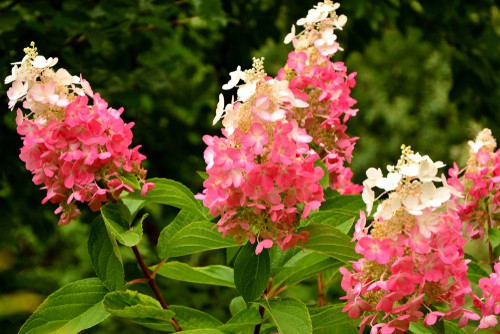 Unlike other varieties, the Pinky Winky plant is far from finicky about it's blooming. It will undergo rainy spring Seasons, harsh Winters, even hot summer drought and still produce beautiful flowers.
