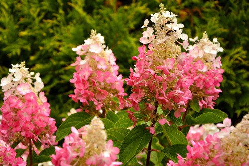 The Pinky Winky shrub offers round shapes with red stems. The red stems are beautiful especially when they are juxtaposed by the bright green leaves. The stems are quite strong so no matter how large the panicle blossoms get, it won't get weighed down and flop over. They will remain upright at all times.