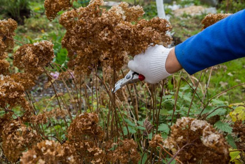Most varieties of hydrangeas can be successfully divided. They will grow very quickly and they do require a lot of space so they are typically divided and spread out.
