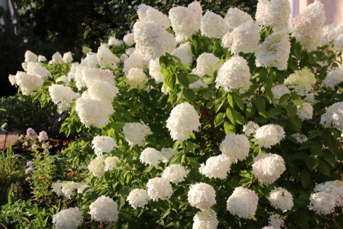 if you live in an area that has sunlight all day long with no shade at any point, you can really only grow a panicle variety of hydrangea.