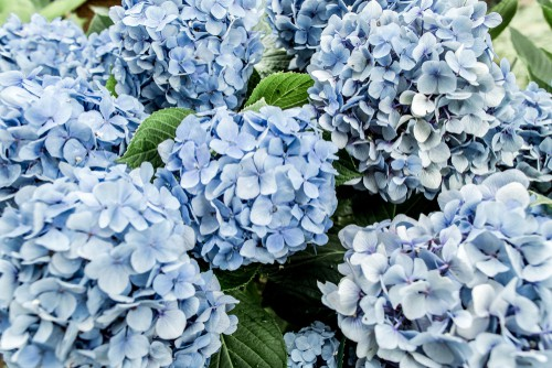 In springtime, those of you with bigleaf hydrangeas can start to cultivate either blue or pink flowers. Now is the time to change the soil composition accordingly. If you want blue flowers, make the soil more acidic with aluminium sulfate. If you want pink flowers, make it more alkaline with lime. Start doing this at the beginning of spring at weekly intervals for 1 month. Check the soil levels and watch for your new, beautiful blooms. Remember this can take a long time to achieve and its much easier to turn pink hydrangea blue than it is to turn blue hydrangeas blue.