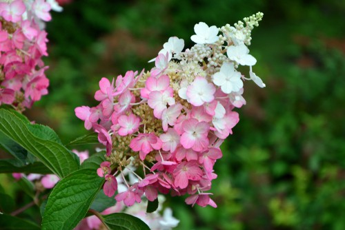This is a great option in your garden if you want to attract butterflies and bees. These garden friends love hydrangeas. More importantly, it's very resistant to deer. Unlike the other varieties, Pinky Winky shrubs are very low on the list of foods that deer go after first which may be useful for some gardeners who have problems with these beautiful animals eating their plants.