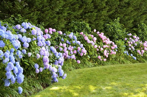 The big leaf varieties are, again, one of the most popular simply because you can change the color you get but no matter what color you are after, there is no hedging plant that will better meet your desires than the hydrangea.