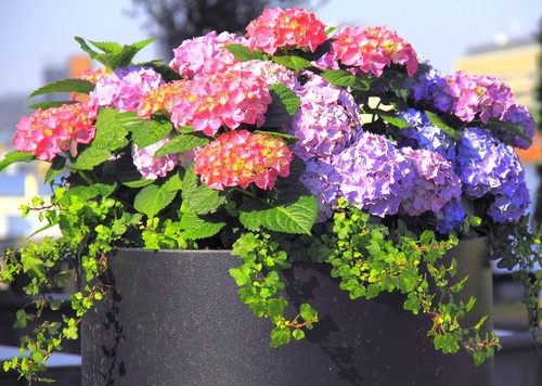 If you truly want to control the color of your hydrangea blooms it is recommended that you plant the hydrangea bushes in pots because it will be significantly easier for you to control the soil chemistry with a smaller amount of soil which you will get if you are growing in a large pot.