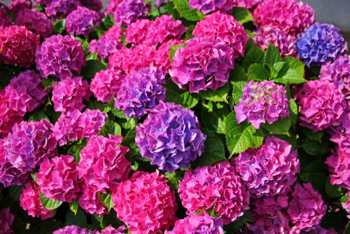 It is important to understand that because the chemistry of your soil can actually change the color of the blooms, the names of your mophead or lacecap varieties doesn't really mean much so if you see a name like forever pink, that doesn't guarantee that the flowers will be pink.