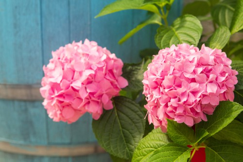 If you want pink blooms you want to deprive the soil of aluminum by maintaining a highly alkaline soil with a pH level between 6.0 and 6.2.