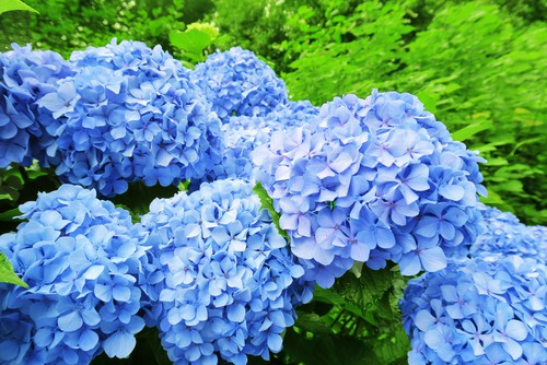Turning hydrangeas blue to pink is as simple as changing the soil composition in your garden.