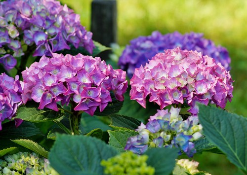 The first thing you have to do is to collect the seeds. Hydrangeas produce the seeds in the enormous flowers but the seeds are actually quite small. The seeds are typically no larger than the size of a cracked peppercorn.