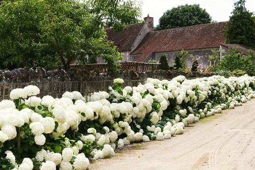 The varieties of hydrangea that are typically planted for hedges have the larger flowers on the outside. These flower heads will grow into large round shapes or long cone shapes. Hydrangea hedges will typically not grow incredibly tall but they are perfectly suited to providing privacy and a colorful appearance.