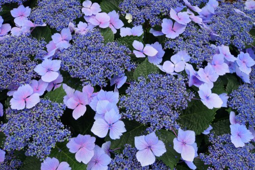 Growing lacecap hydrangeas is very simple so long as you follow some basic rules. The lacecap hydrangeas are also referred to as bigleaf hydrangeas because, as the name implies, they have rather large leaves but they also have attractive flower clusters that are blue and pink with edged flowers around the center.
