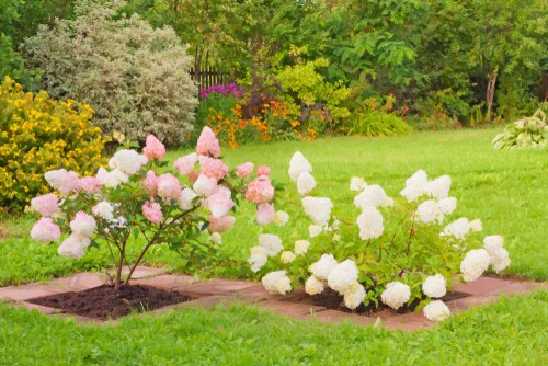 The hydrangea paniculata performs best when it is planted in porous, well-drained soil.