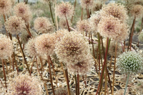 Giant Onion (Allium Giganteum) after blooming in a garden ready to be cut back for winter