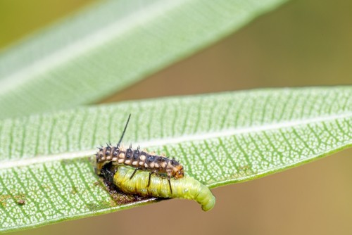 Larva of ladybug eating hawk moth caterpillar