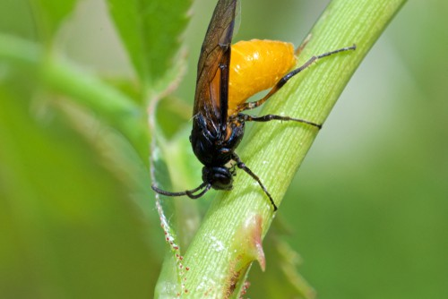 Rose sawfly laying eggs in stem