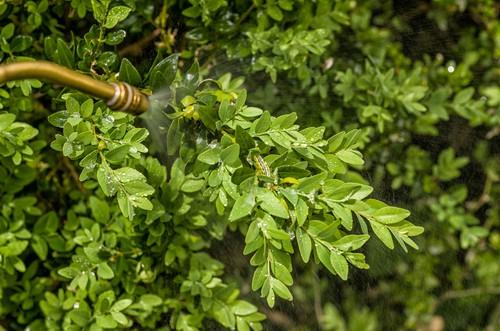 spraying caterpillars with organic spray