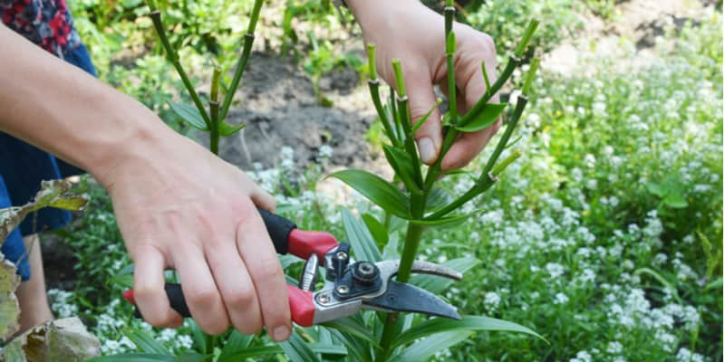 Lilies are stunning plants and generally, you should deadhead each flower as it finishes but pruning depends on a few factors. Learn more now