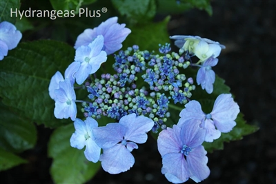 Fall Foliage Desktop Wallpaper Hydrangea Macrophylla Blue Wave