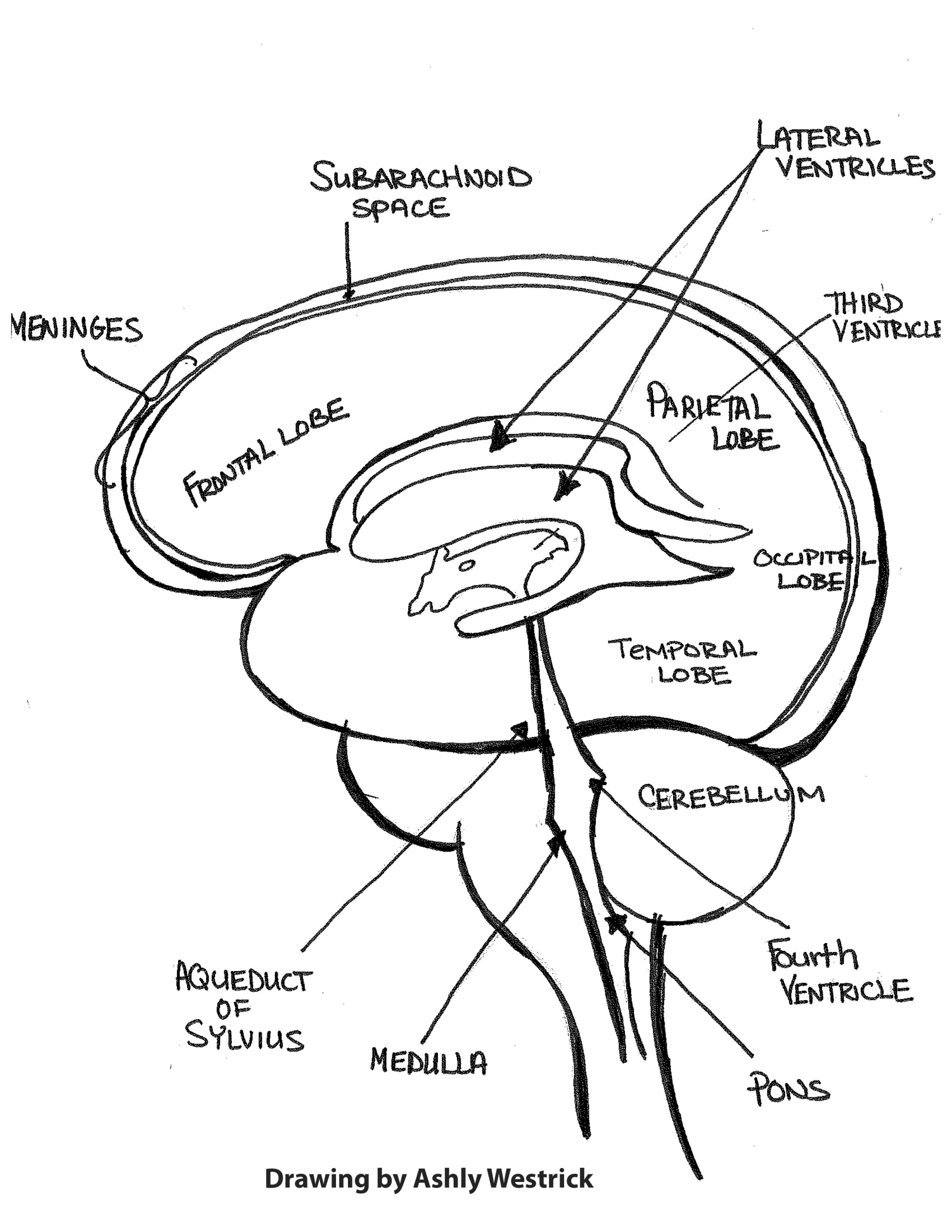 hight resolution of drawing of brain